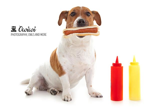 Jack Russell Boris Hot Dog